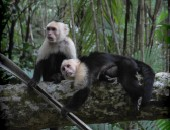 Costa Rica, monkeys