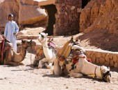 Cheap flights to Sharm el Sheikh: Camels