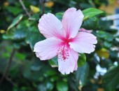 Montego Bay, flower