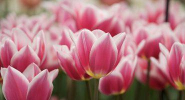 Tulip talk: Keukenhof in Spring