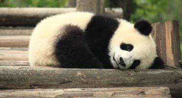 Panda Ambassadors wanted!