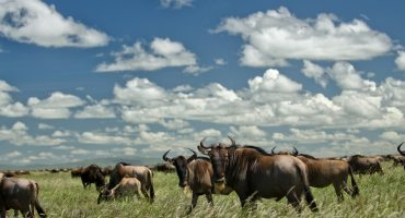 Following the wildebeests through Africa