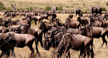 Wildebeest migration tracking… there's an app for that