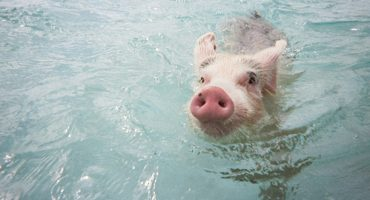 Swim with pigs in the Bahamas