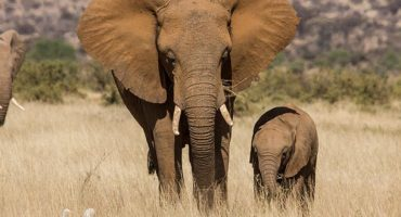 "African elephants could disappear ""within a decade"""