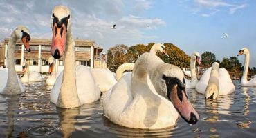 Visiting Cambridge? Beware of swans