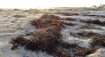 Caribbean beaches plagued by stinky seaweed
