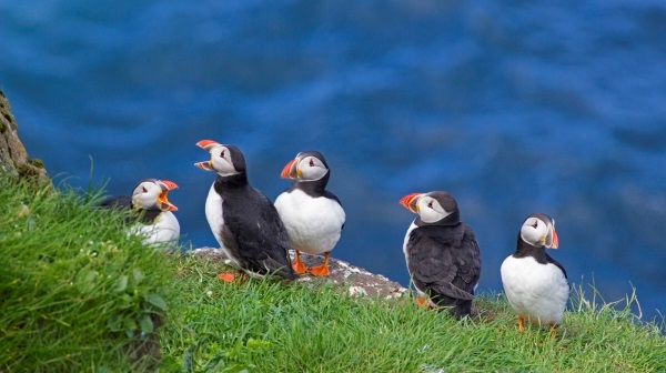 Puffins on the Faroe Islands