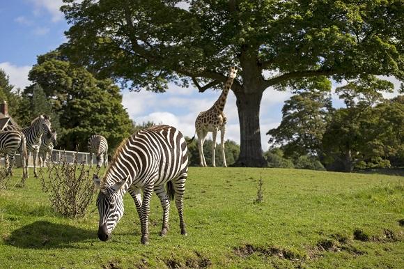 Longleat House safari park