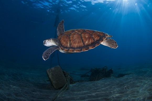 Sea turtle Tenerife
