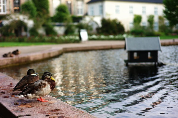 copenhagen-ducks