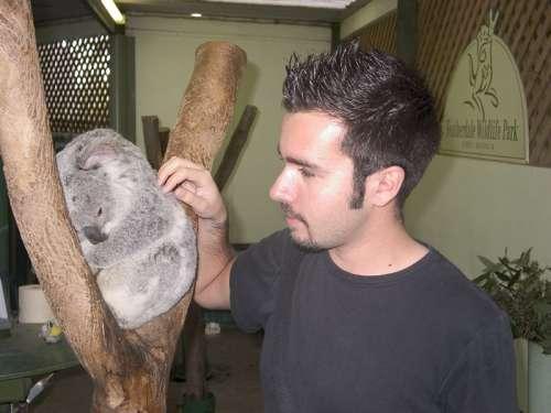 sydney-koala